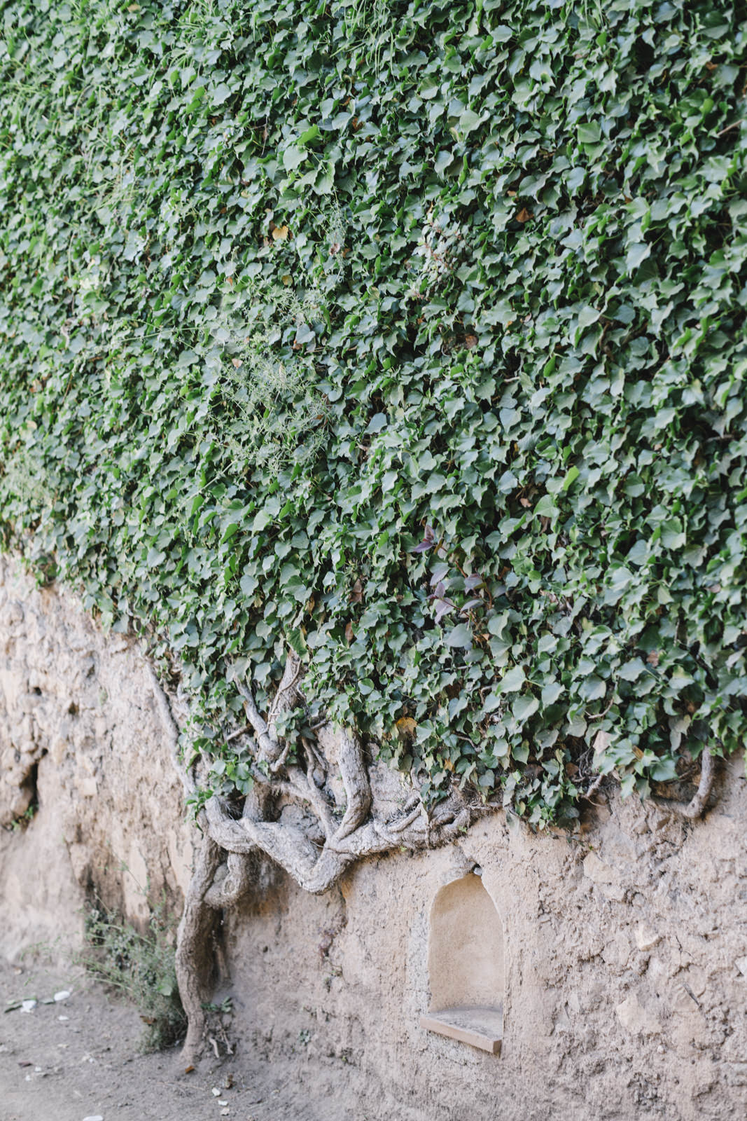 wall covered by green leaves in villa cimbrone